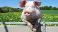 Sorin Minea, președintele Romalimenta, susține că creșterea porcului ar putea fi compromisă, la noi, de pesta porcină pentru vreo 20 […]