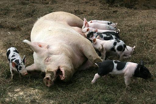 """Pesta porcină pare a fi subiectul """"la modă"""" zilele acestea. Plăvanul zici că dă de ceasul morţii atunci când vorbeşte […]"""